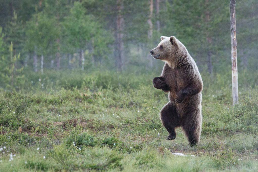 finland_bear_comedy_generic_us_cmyk