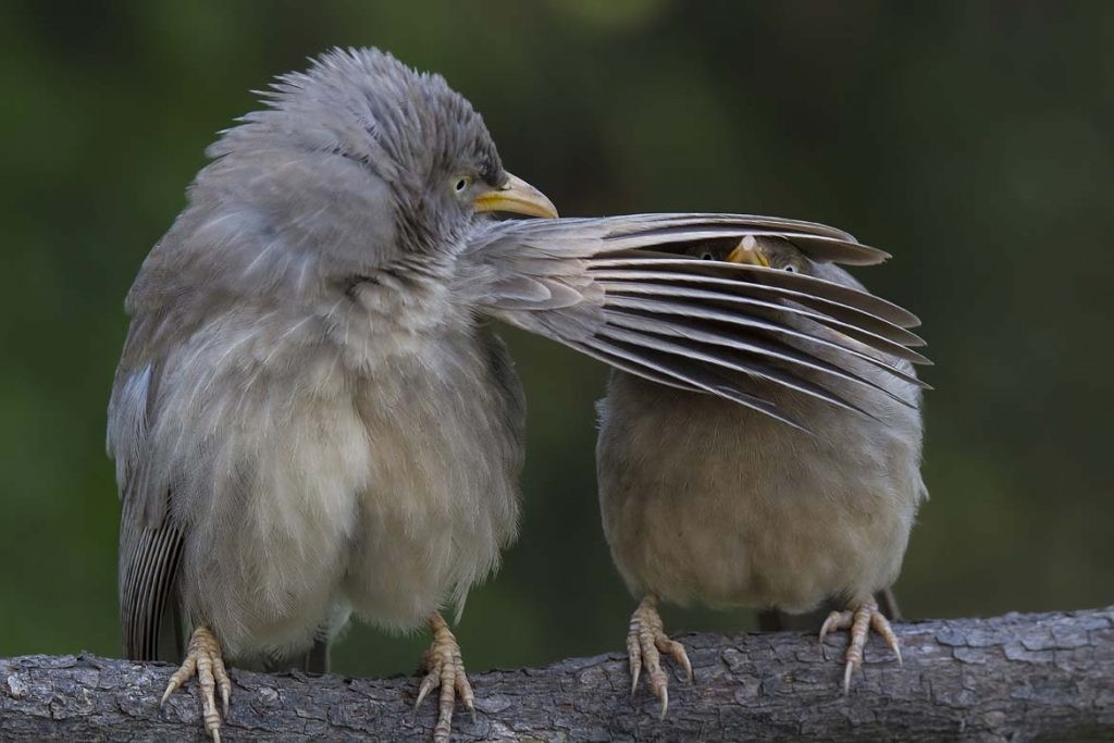 jungle-babblers