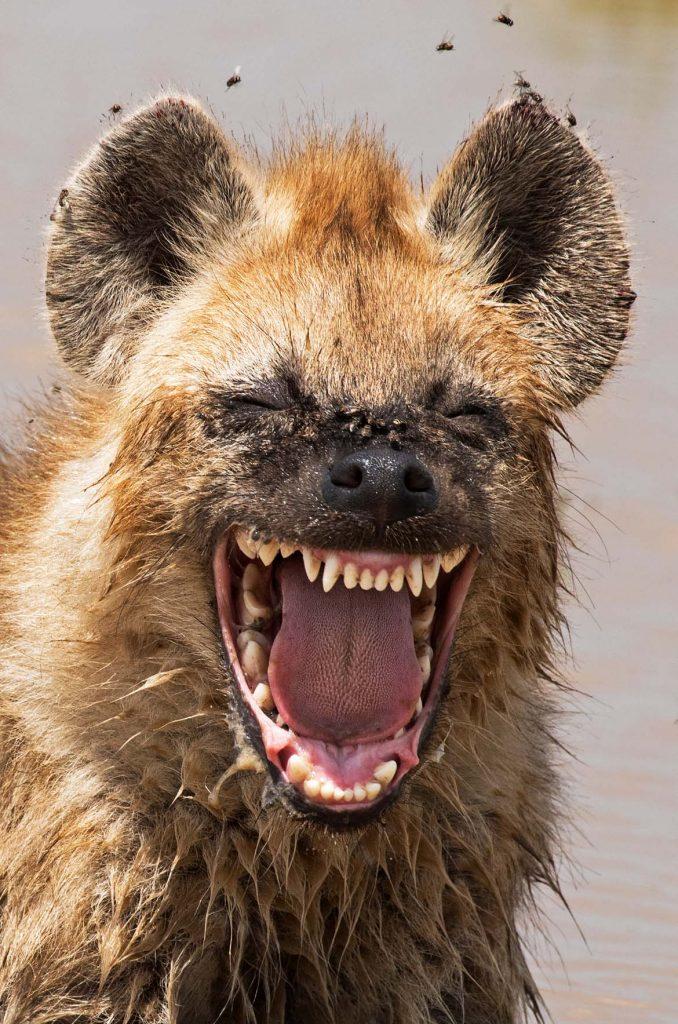 schmid-2938-laughing-hyena