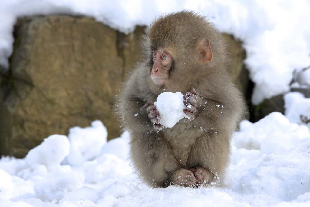 snow-monkey-hd-selected-looking-left-nicolas-de-vaulx